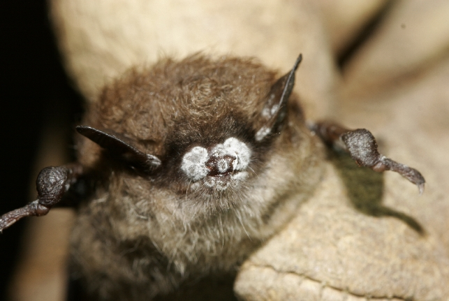 Bat with white nose syndrome.