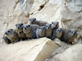 Hyrax group photo.