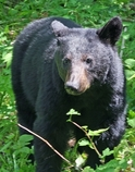 Black bear photo.