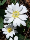 Bloodroot flower photo.