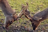Fighting bucks photo.