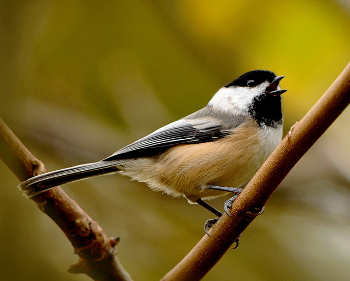 Chickadee photo.