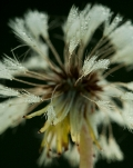 Dandelion photo.