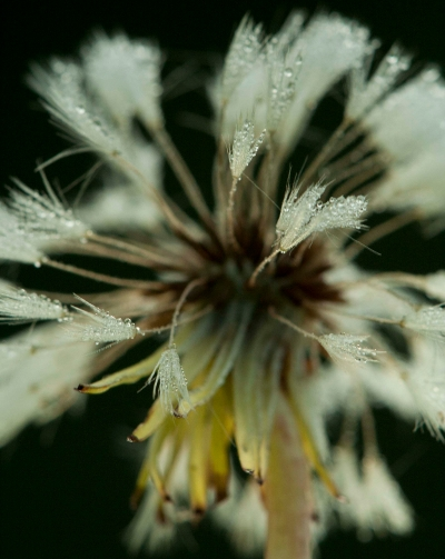 Dandelion photo..