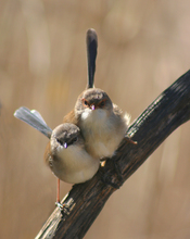 Fairywrens photo.