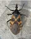 Kissing bug photo.