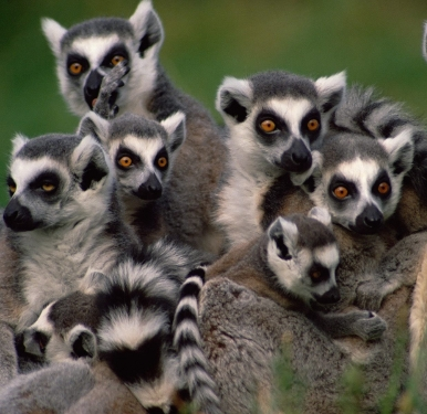 Lemur photo..