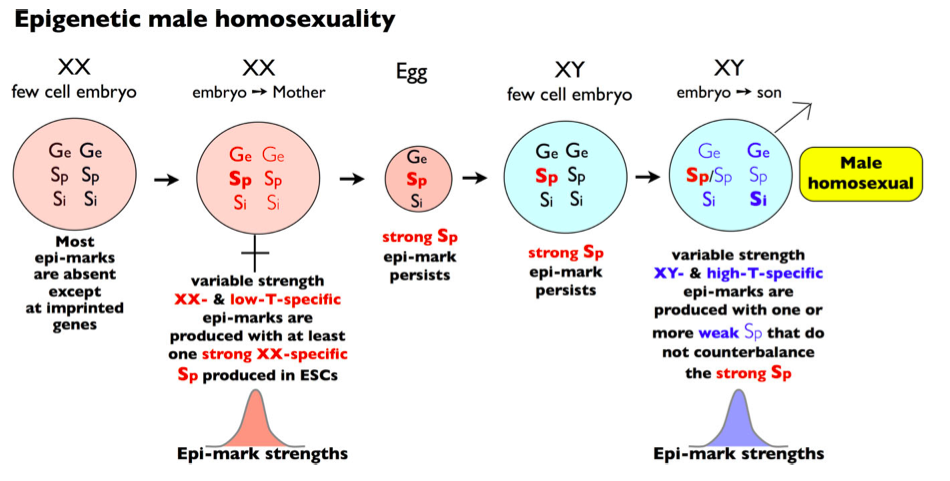 Homosexuality caused by epigenetics