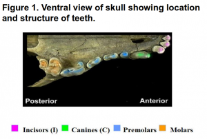 "In the ""Of Skulls and Teeth"" unit, there are many activities involving the counting, classifying and measuring of different aspects of animal skulls, including teeth, in order to better understand the adaptations of organisms."
