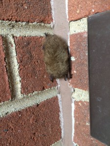 Little brown bat visits NIMBioS